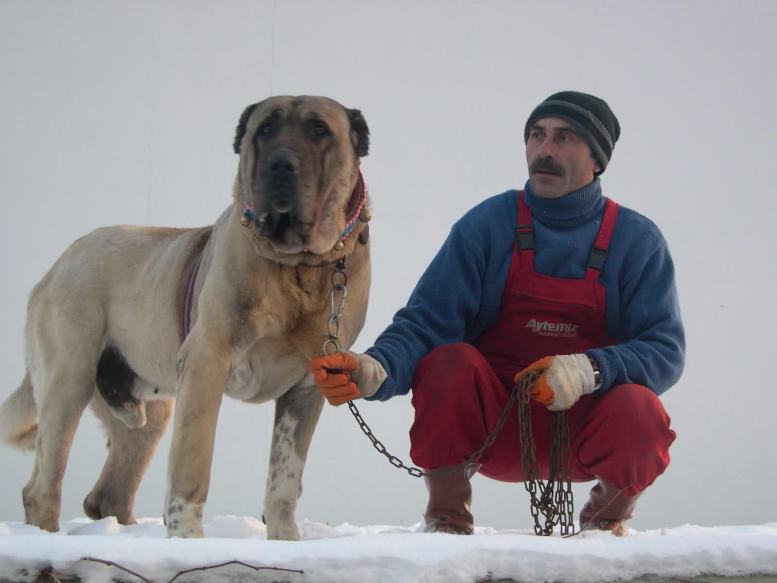 aksaray malaklı köpeği - uludağ sözlük