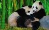 pandaların yaşamına imrenmek