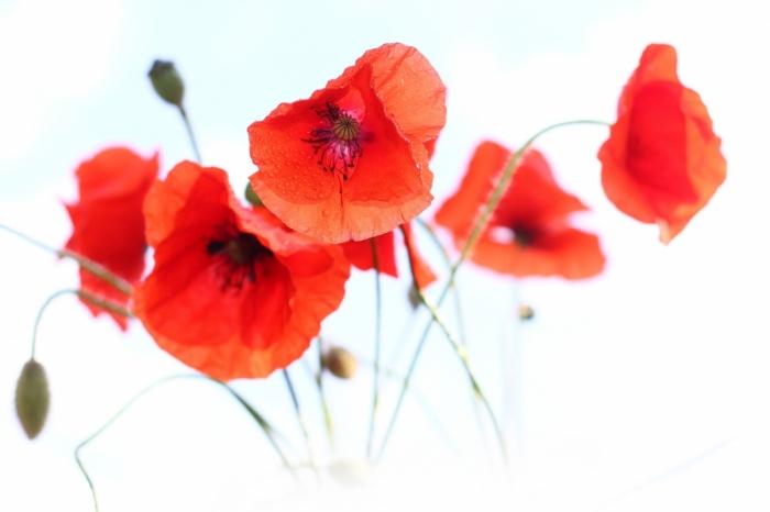 картинки маки цветы на белом симптоматика